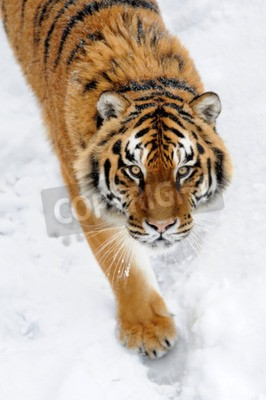 Fotomural Hermoso tigre siberiano salvaje en la nieve