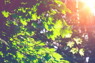 Fotomural Hojas de arce verdes soleadas