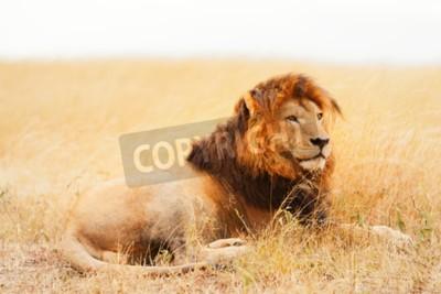 Fotomural Hombre león acostado en la hierba al atardecer en Masai Mara, Kenia
