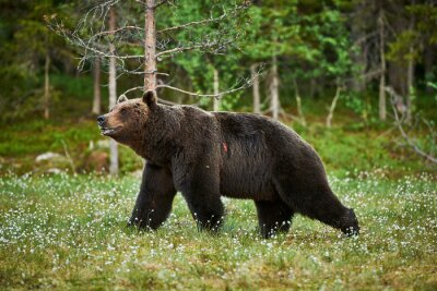 Fotomural Hombre oso pardo