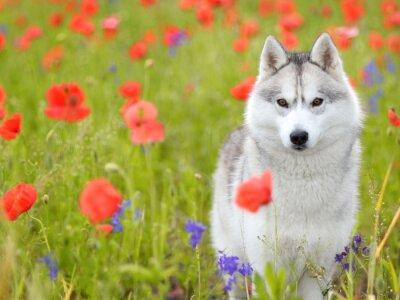 Fotomural Husky siberiano - flores de las amapolas