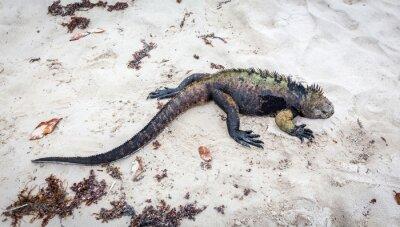 Fotomural Iguana marina de Galápagos