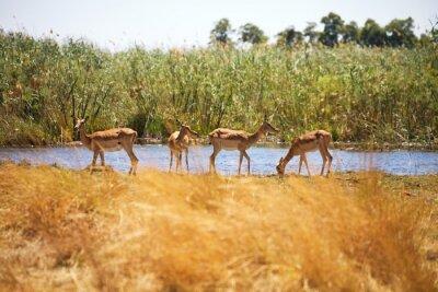 Fotomural Impala, Aepyceros melampus, Parque Nacional de Bwabwata, Namibia