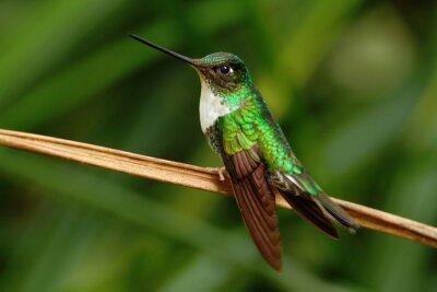 Fotomural Inca colectado, Coeligena torquata, colibrí del bosque de Mindo, ave de Ecuador