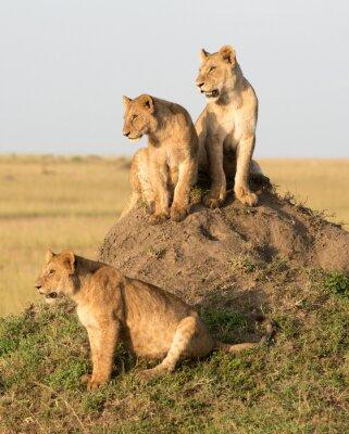 Fotomural Kenia, África, reserva de Masai Mara, león femenino con los cachorros.