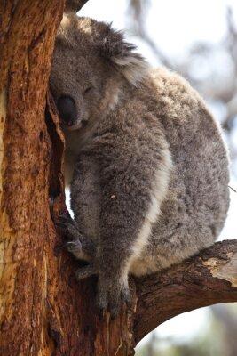 Fotomural Koala durmiendo durante el día