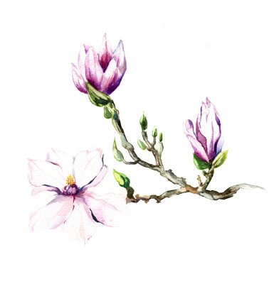 Fotomural la acuarela de las flores de magnolia aislada en el fondo blanco