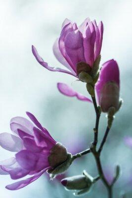 Fotomural La floración magnolia rosada