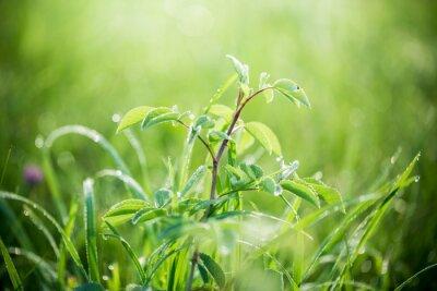 Fotomural La hierba verde fresca con gotas del agua en el fondo de vigas de la luz del sol. Enfoque suave