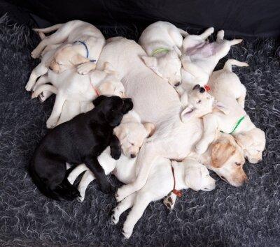 Fotomural Labrador puppys durmiendo con su madre