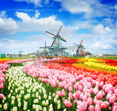 Fotomural landscape with traditional Dutch windmills of Zaanse Schans and rows of tulips, Netherlands, retro toned