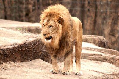 Fotomural León africano