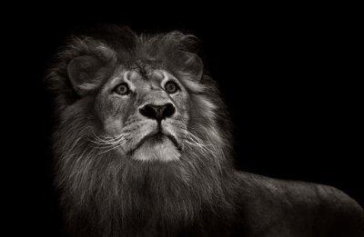 Fotomural León blanco y negro