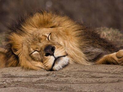 Fotomural León durmiente