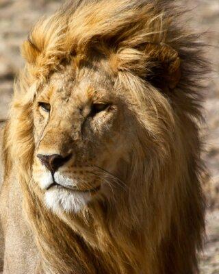 Fotomural León en África