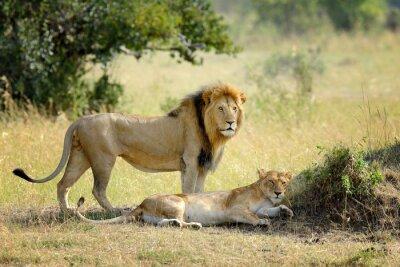 Fotomural León en el Parque Nacional de Kenia, África