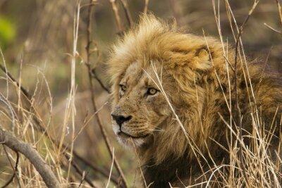 Fotomural León en el Parque Nacional Kruger