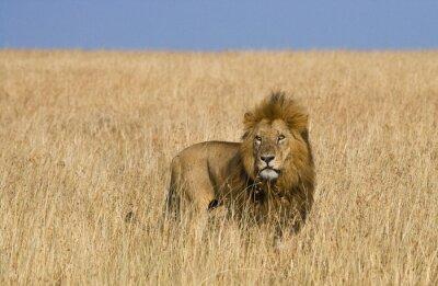 Fotomural León macho grande en la sabana. Parque Nacional. Kenia. Tanzania. Maasai Mara. Serengeti. Una excelente ilustración.