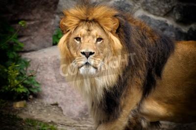 Fotomural León macho mirando hacia afuera en el afloramiento rocoso.