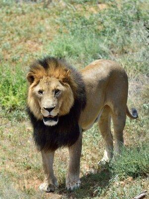 Fotomural León macho, Namibia