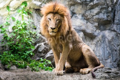 Fotomural León macho que pone en la roca