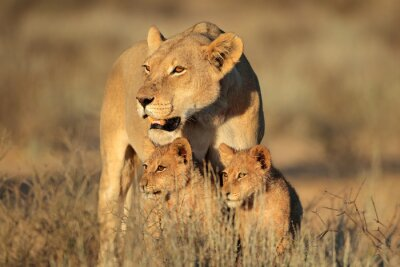 Fotomural Leona con jóvenes cachorros de león (Panthera leo) en la luz de la mañana, desierto de Kalahari, Sudáfrica.
