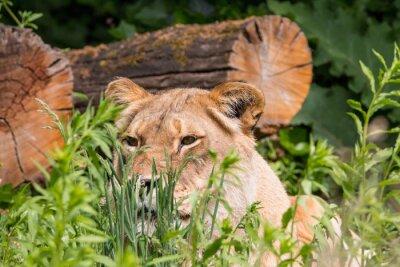 Fotomural Leona en la hierba