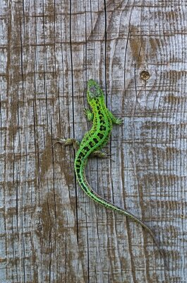 Fotomural lizard on a background of wooden planks