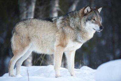 Fotomural Lobo de pie en el bosque frío invierno