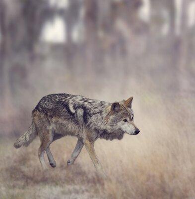 Fotomural Lobo gris (Canis lupus)