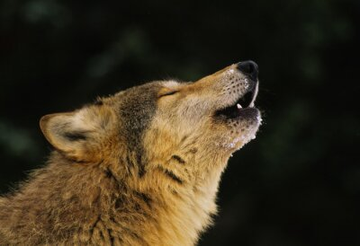 Fotomural Lobo que grita Retrato