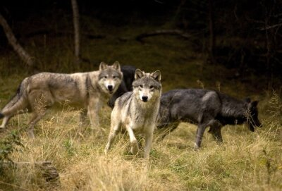 Fotomural Lobos curiosos en el campo
