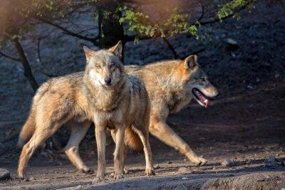 Fotomural Lobos en la naturaleza