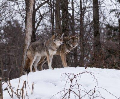 Fotomural Lobos grises o grises
