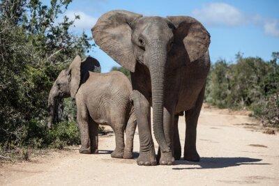 Fotomural Los elefantes africanos en el parque de Sudáfrica