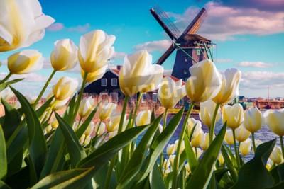 Fotomural Los molinos de viento holandeses famosos entre las flores florecientes del tulipán blanco. Escena al aire libre soleada en los Países Bajos. Belleza del fondo del concepto de campo. Collage creativo