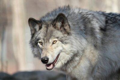 Fotomural Loup gris d amérique