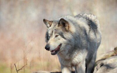 Fotomural Loup sauvage en automne