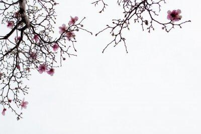 Fotomural Magnolia japonesa florece en el fondo blanco