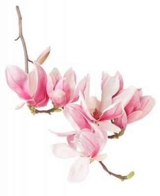 Fotomural Magnolia, primavera rama de la flor de color rosa y brotes en blanco, camino de recortes