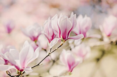 Fotomural Magnolienblüten