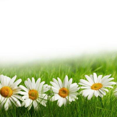 Fotomural Margarita blanca flores en la hierba verde