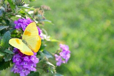 Fotomural Mariposa amarilla en púrpura florece el fondo