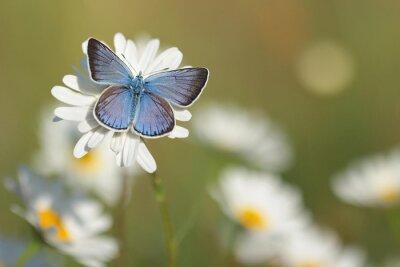 Fotomural Mariposa azul común