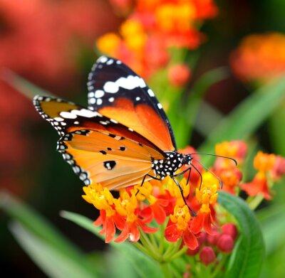 Fotomural Mariposa en la flor de naranja en el jardín