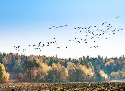 Fotomural Migración de gansos canadienses