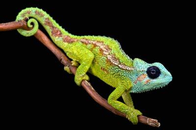 Fotomural Monte Hanang Chameleon (Trioceros hanangensis)