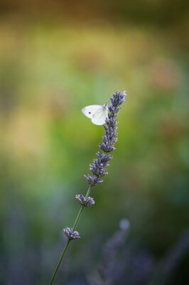 Fotomural Motyl na lawendzie