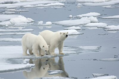Fotomural Mujer Oso polar con Yearling Cub