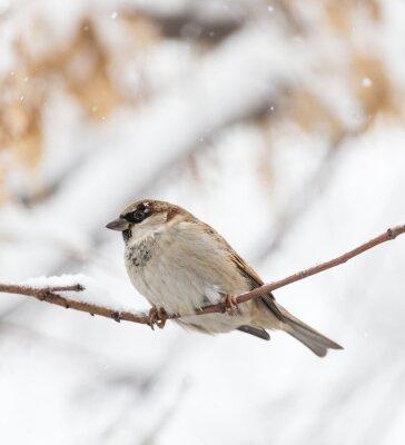 Fotomural Naturaleza del invierno del gorrión